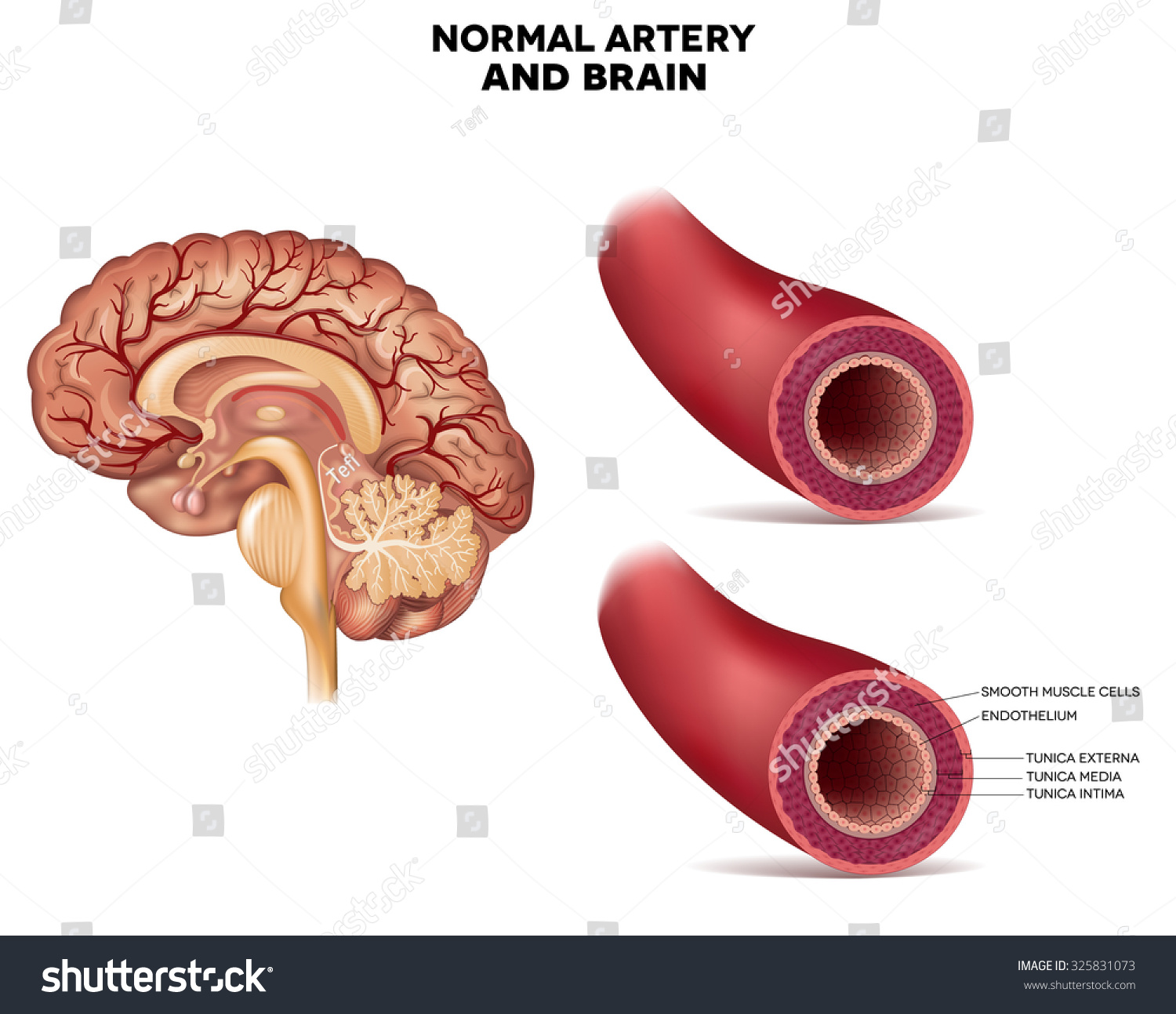 Normal Artery Structure Brain Detailed Anatomy Stock Illustration