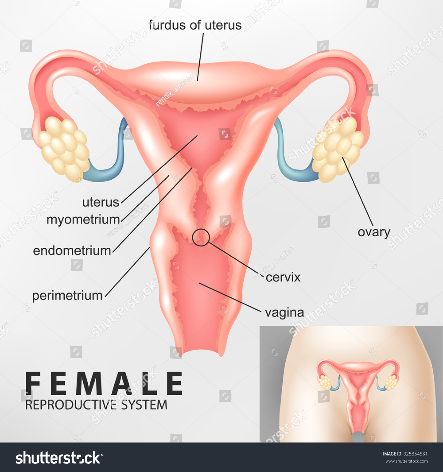 Diagram Female Reproductive System Stock Illustration 325854581