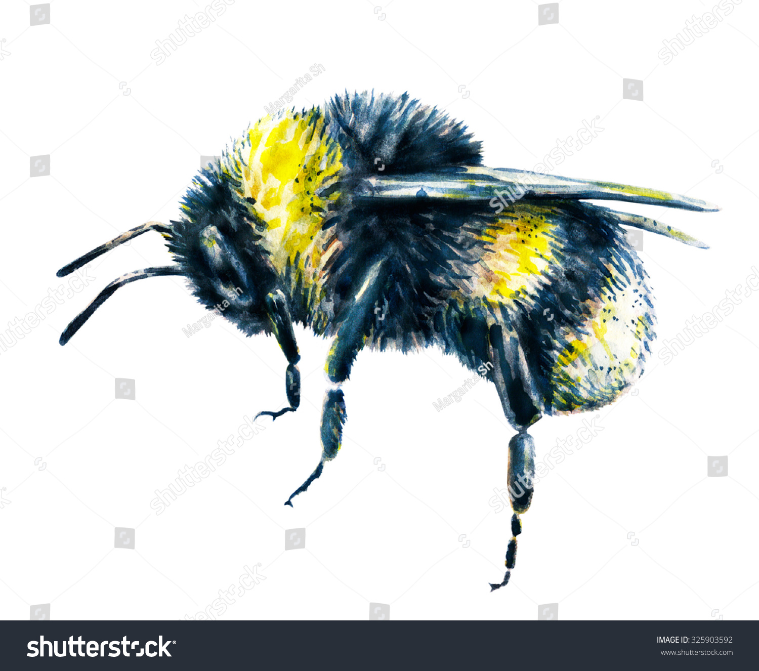 bumblebee on white background watercolor drawing stock