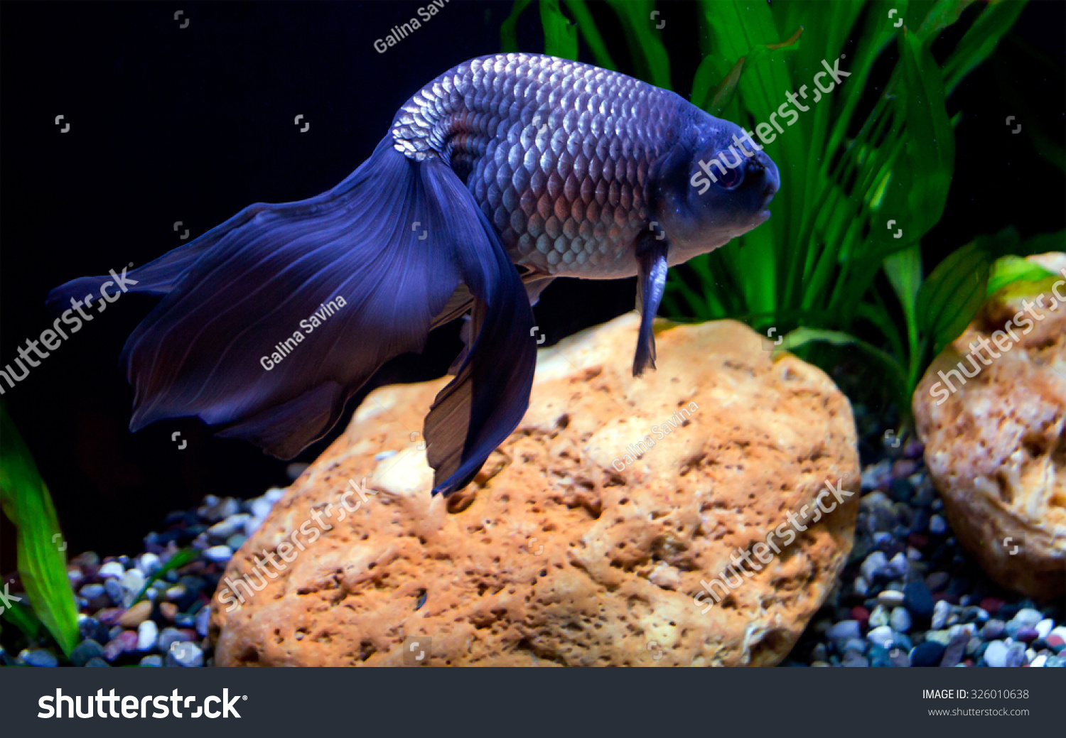 Aquarium blue fish the tail is the main beauty of the fish for Fish on main