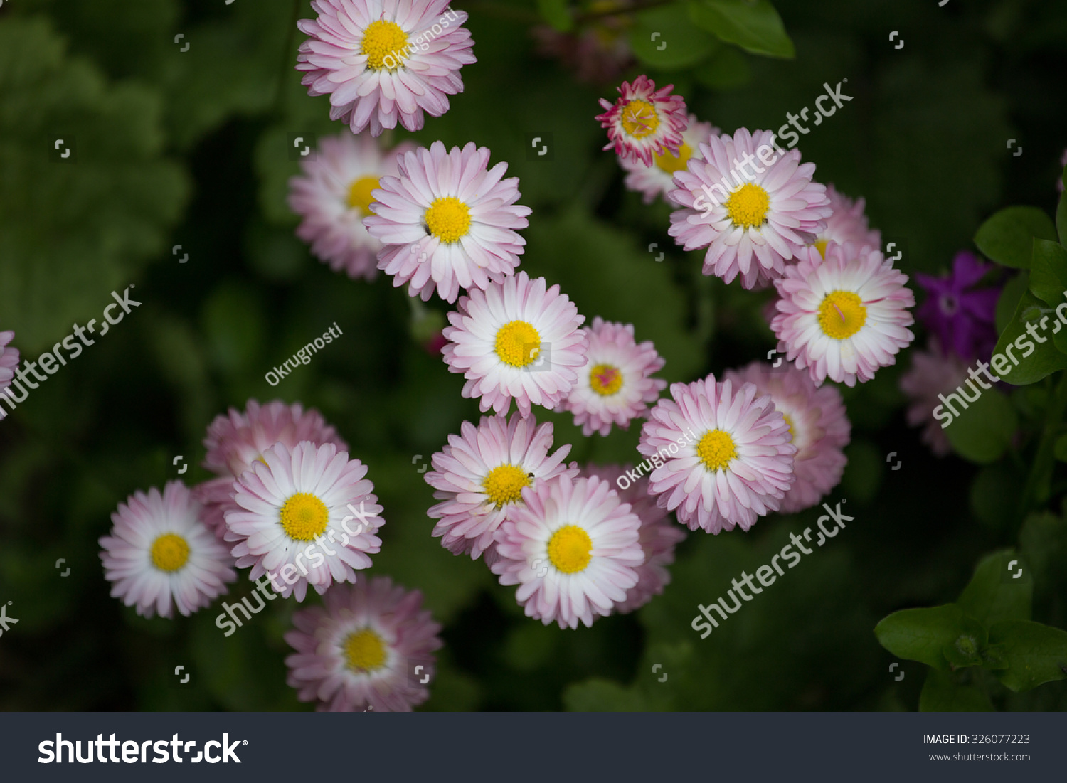 Little daisy flowers stock photo edit now 326077223 shutterstock little daisy flowers izmirmasajfo
