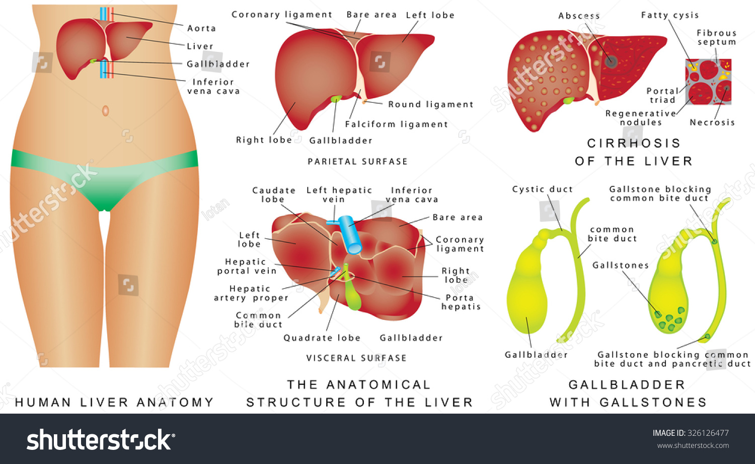 Liver Gallbladder Cirrhosis Major Anatomical Landmarks Stock Vector ...