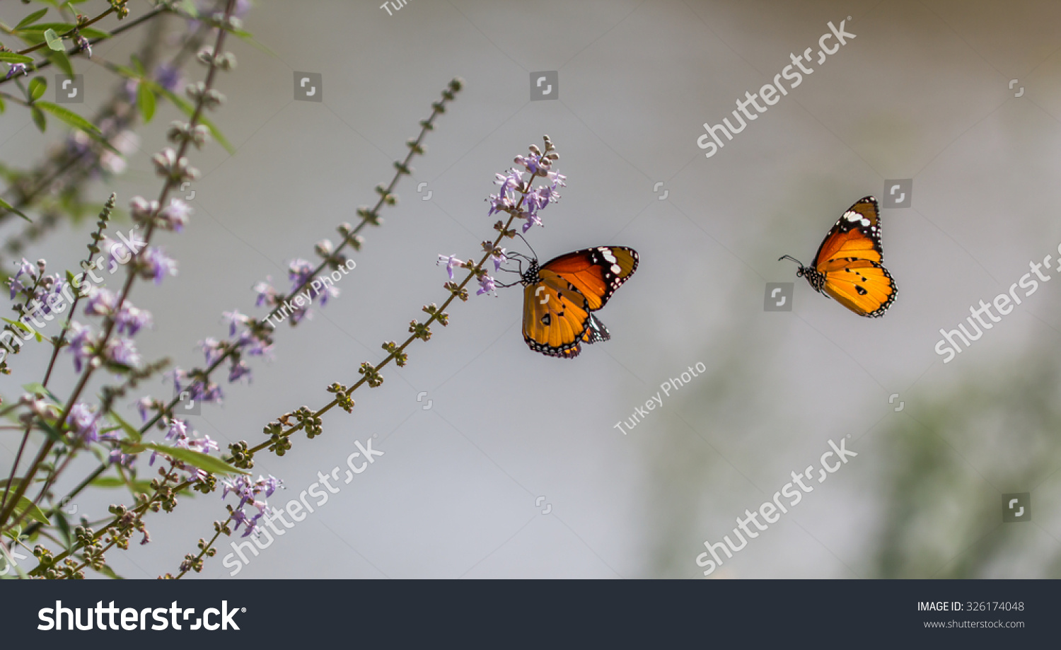 stock-photo-two-beautiful-butterfly-port
