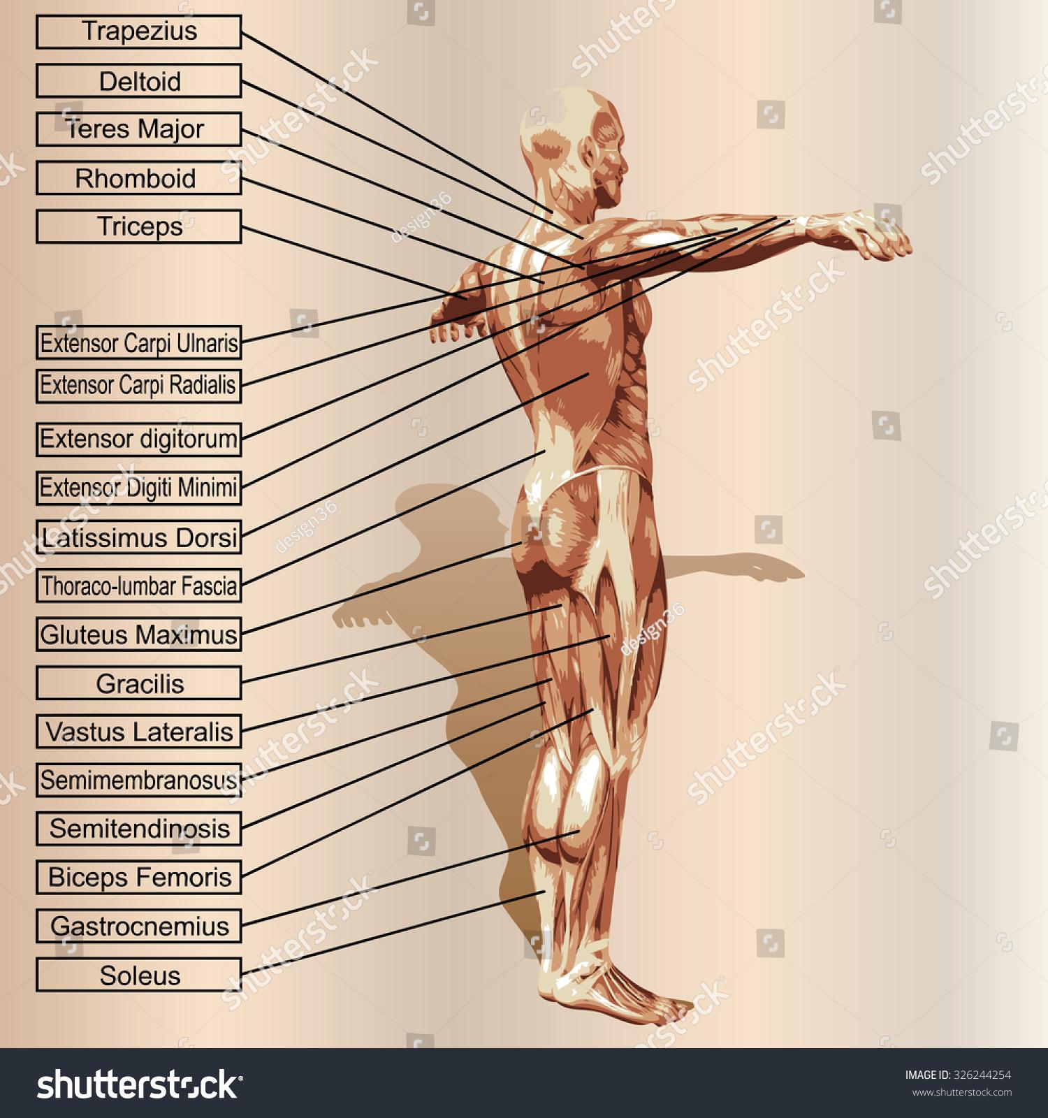 Conceptual 3 D Male Human Anatomy Man Stock Illustration 326244254