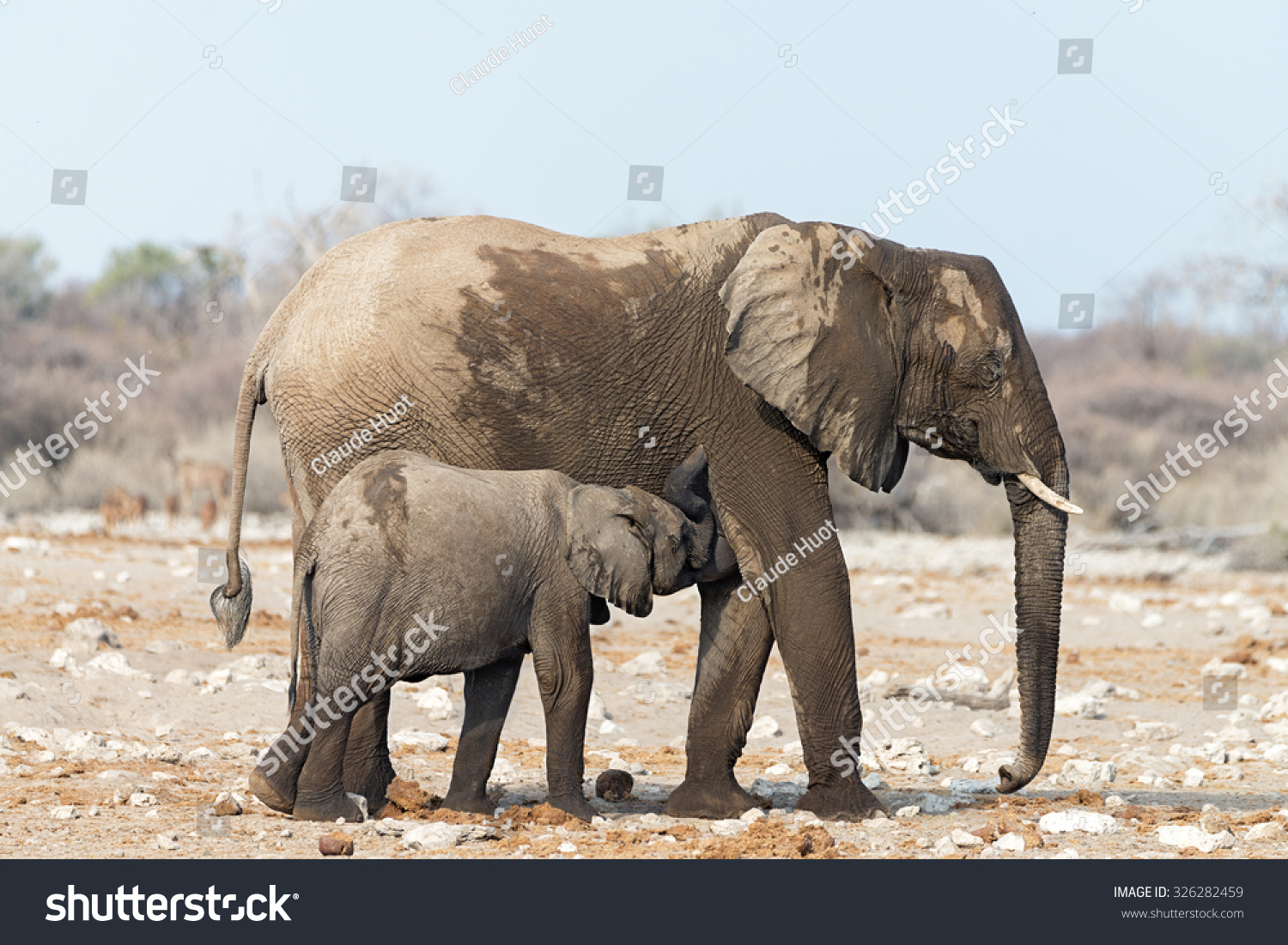 Young Elephant (Loxodonta africana) suckling its mother after a visit to a waterhole in Etosha National Park, Namibia