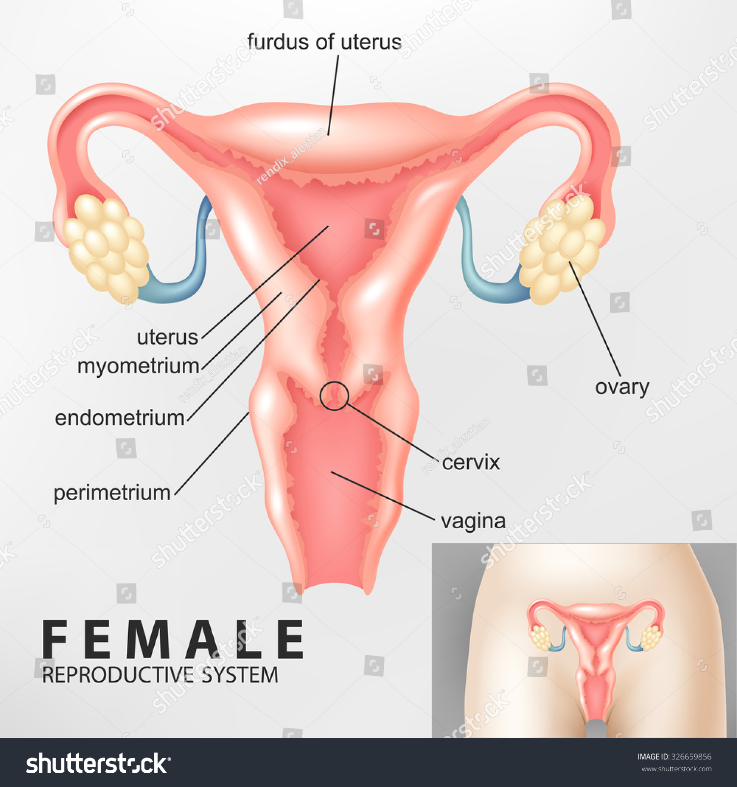 Diagram Female Reproductive System Stock Vector Royalty Free