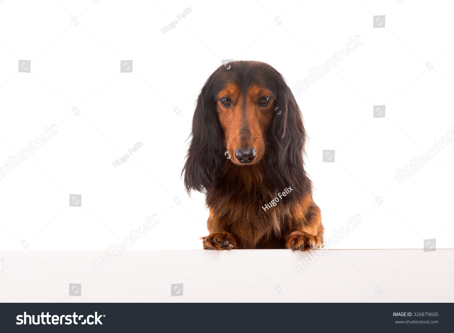 Funny Teckel Dachshund Puppy Over White Stock Photo Edit Now 326879600