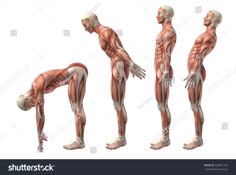 3 D Render Medical Figure Showing Trunk Stock Illustration 326891750 ...