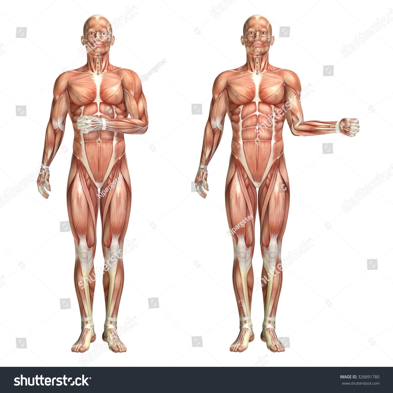3 D Render Medical Figure Showing Shoulder Stock Illustration