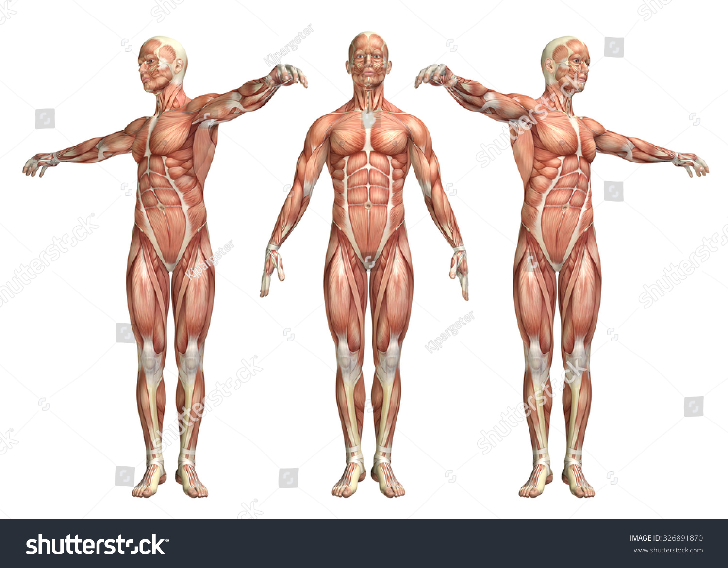 3 D Render Medical Figure Showing Trunk Stock Illustration 326891870 ...
