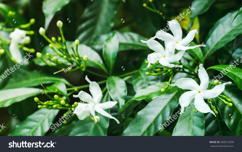 White Sampaguita Jasmine Arabian Jasmine Flowers Stock Photo Edit