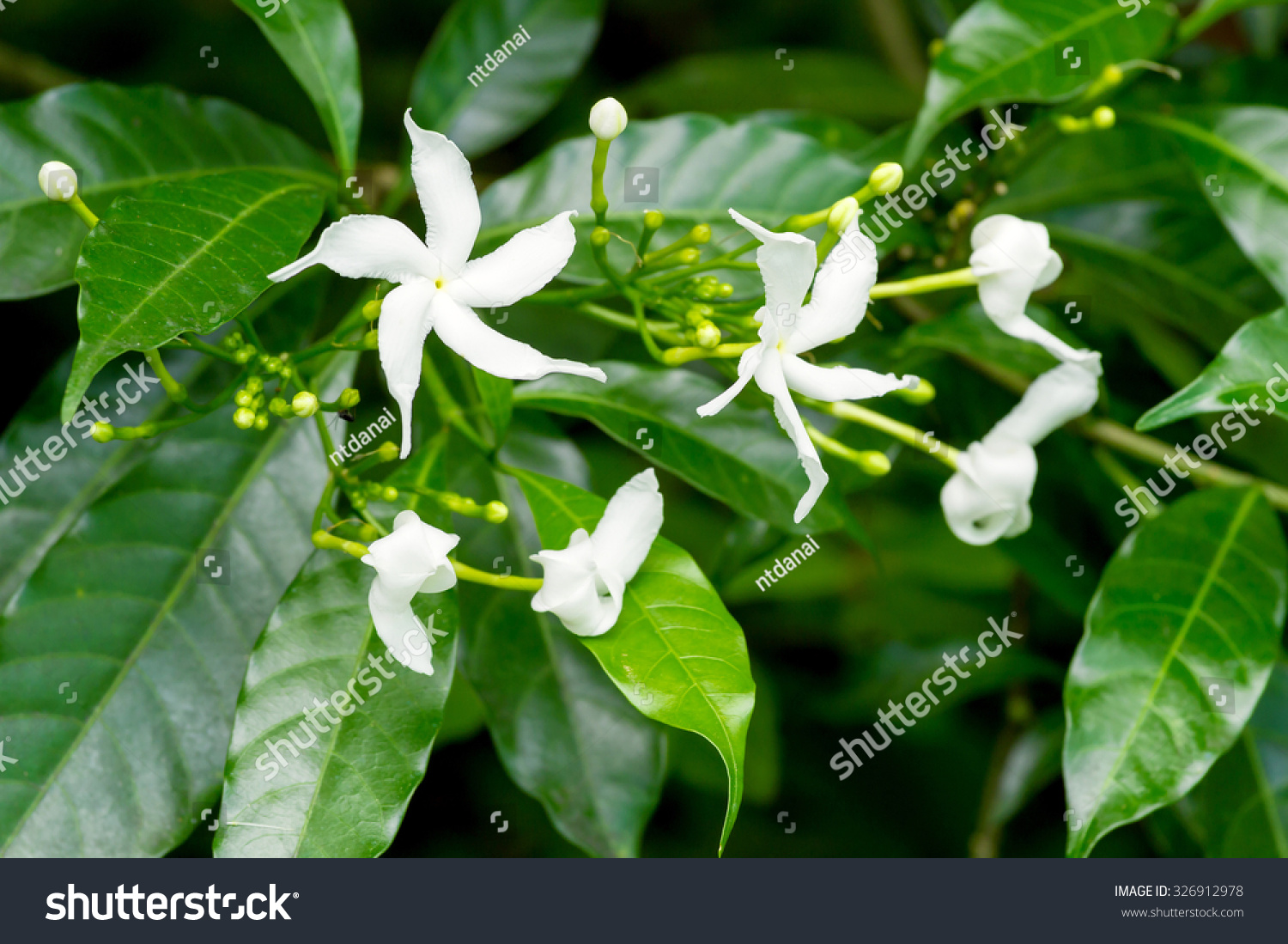 White Sampaguita Jasmine Arabian Jasmine Flowers Stock Photo Edit