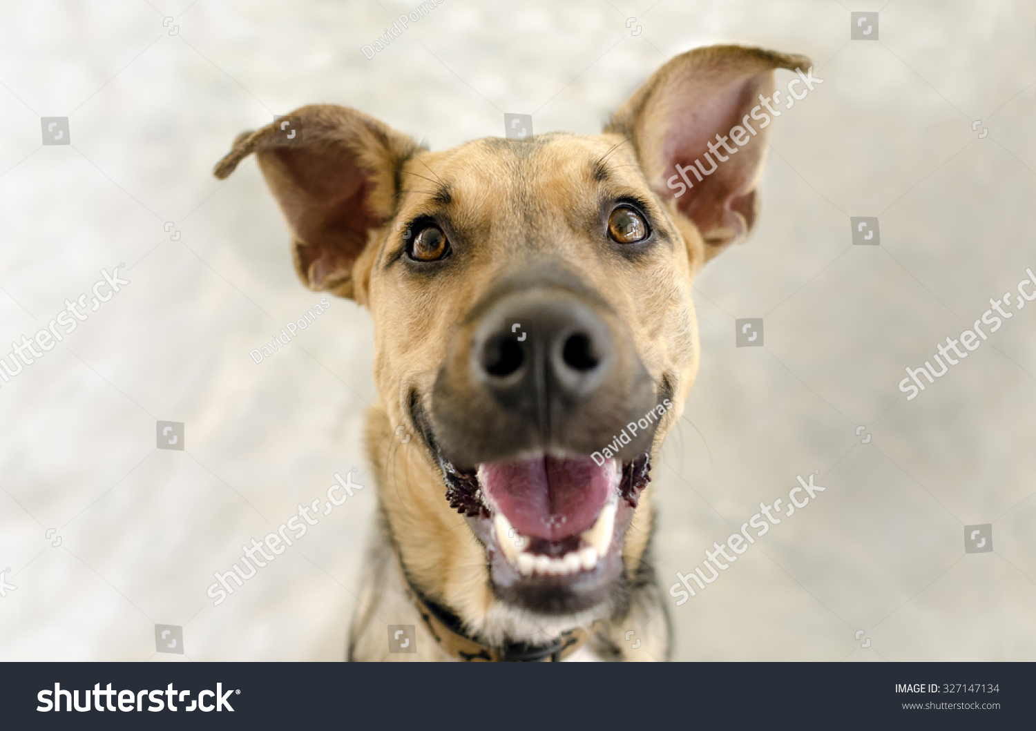 Happy Dog Funny German Shepherd Looking Stock Photo - Dogs looking funny with toys