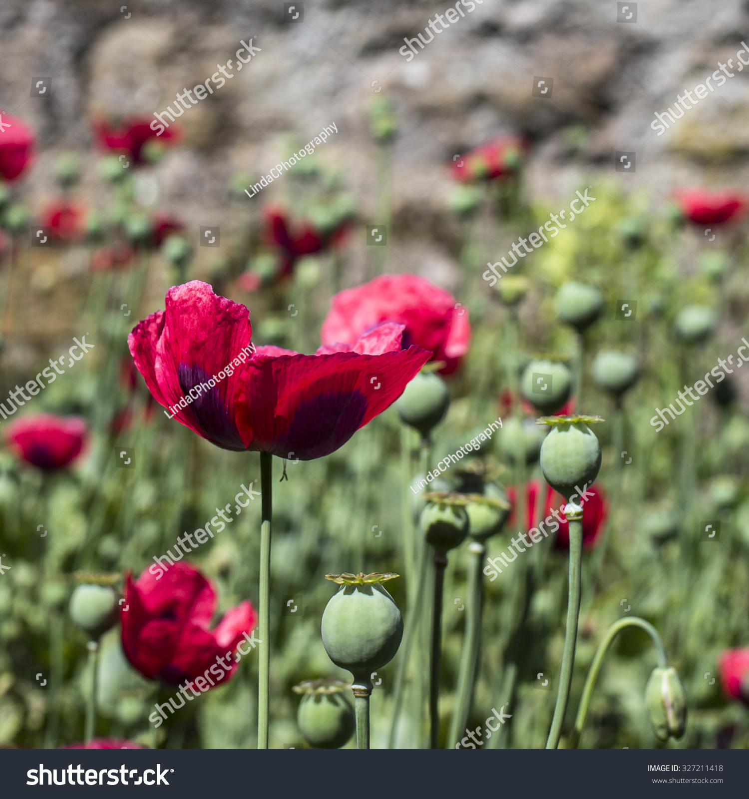 Red Poppy Flower Scottish Memorial Day Stock Photo Edit Now