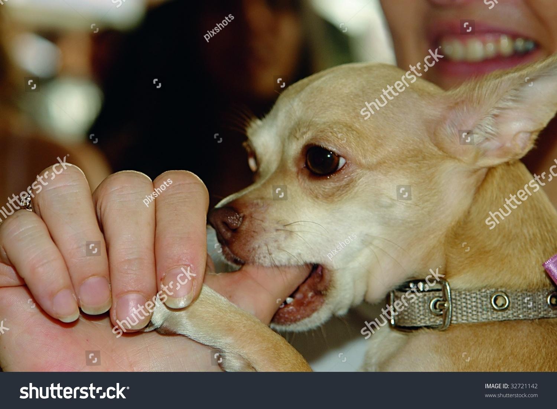 Chihuahua Dog Sucking Thumb His Owner Stock Photo 32721142