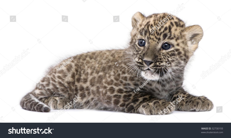 Baby white leopard - photo#22