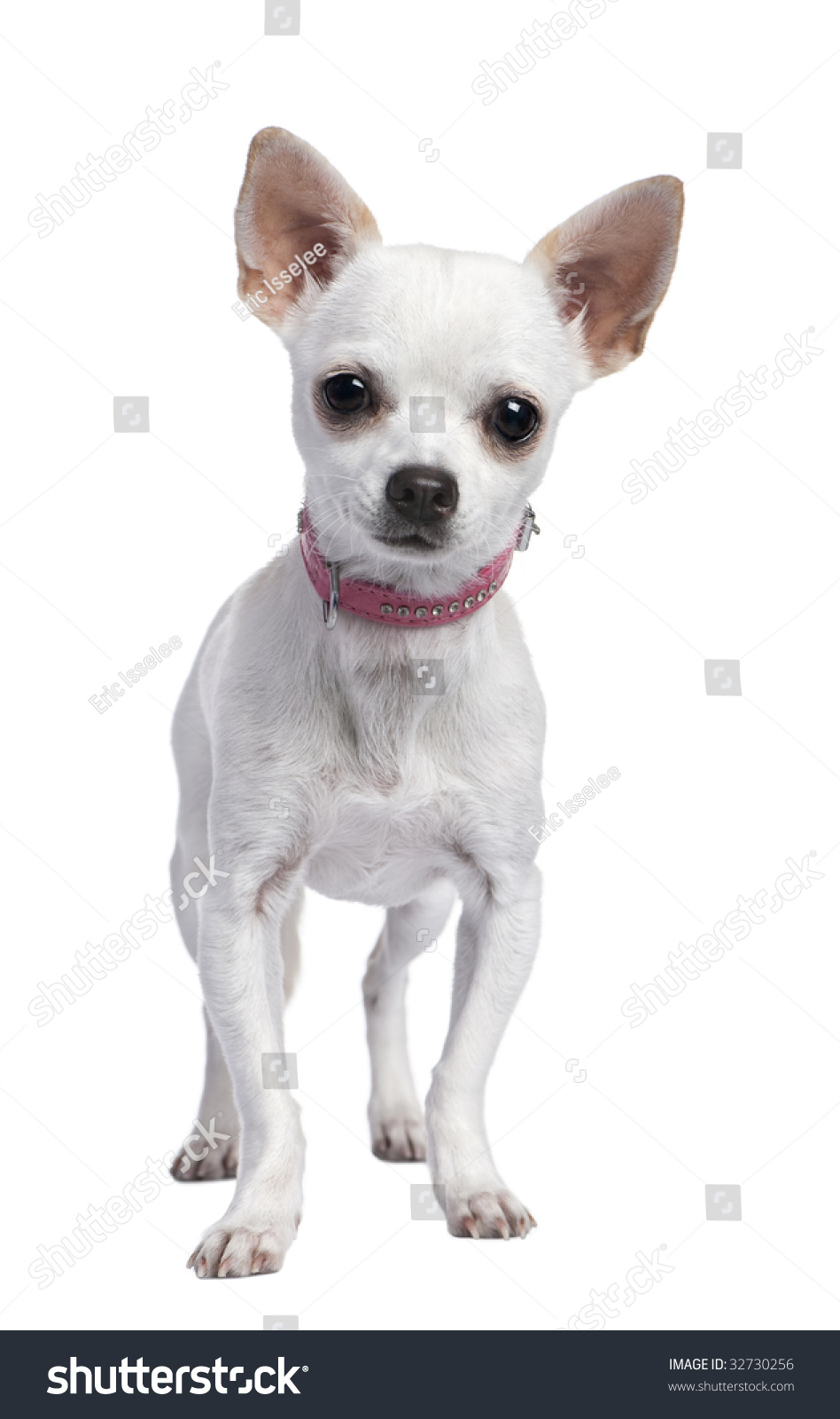 White Chihuahua Puppy Wearing A Pink Collar (6 Months Old ...