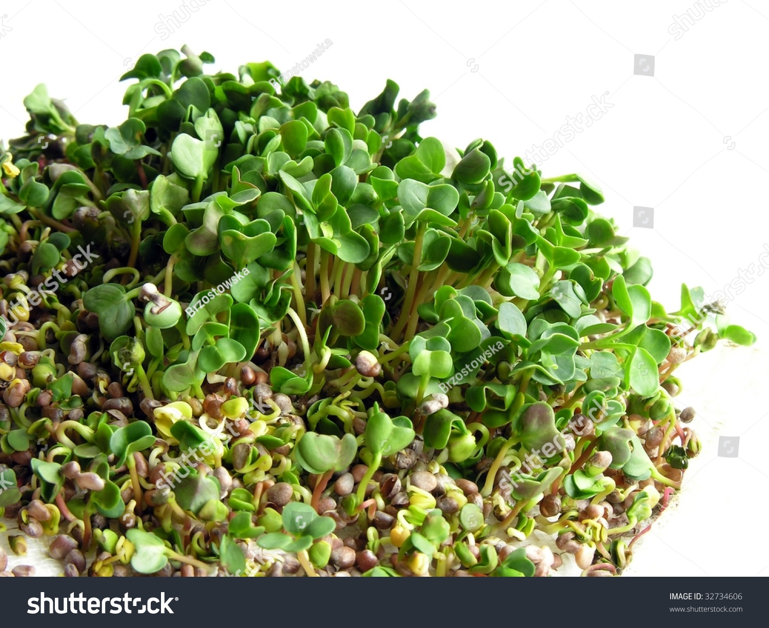 germination of radish seeds The oil radish seeds storage in cold chamber preserves the physiological quality   time and storage environment influenced on the germination rate and on the.