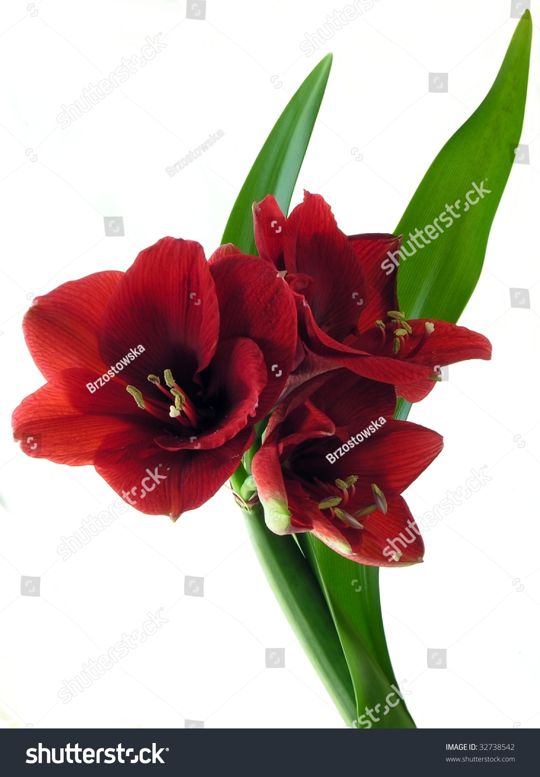 Beautiful Red Tulip Isolated On White Background Ez Canvas