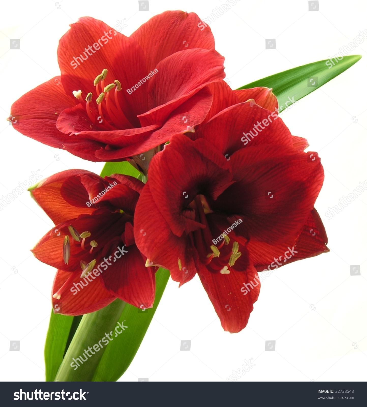 Pretty Red Flower Amarillis Stock Photo Edit Now 32738548