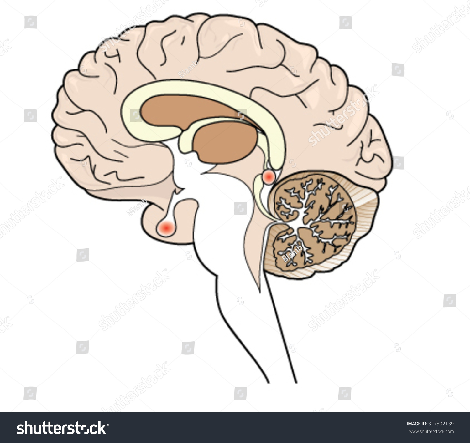 Cross Section Brain Showing Pituitary Pineal Stock Vector 327502139 ...