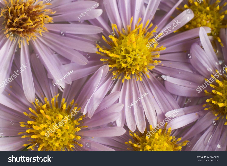 Pale Purple Flowers Yellow Center Closeup Stock Photo Edit Now