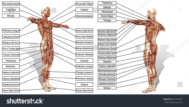 Concept Conceptual 3d Human Man Anatomy Stock Illustration 327541097