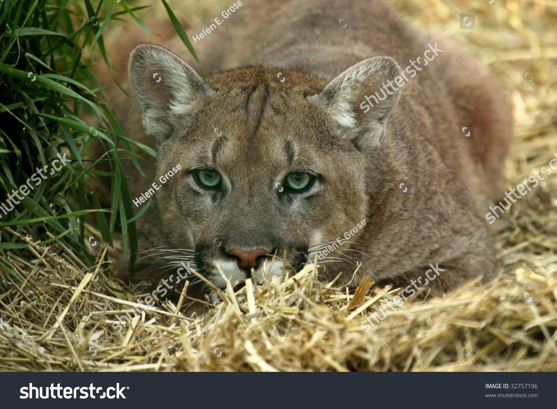 Young Cougar Puma Concolor Demonstrating Stalking Stock Photo Edit Jpg 1500x1101 Cougar Stalking