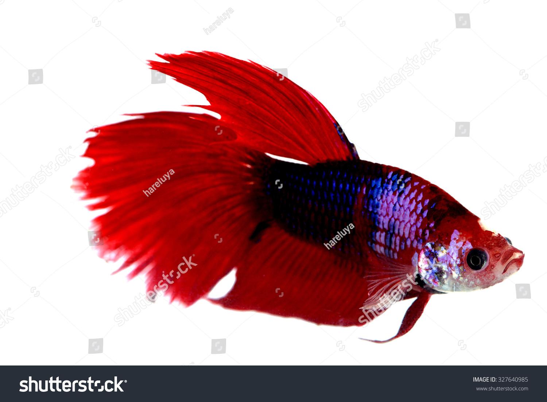 Betta fish, siamese fighting fish, betta splendens isolated on white ...