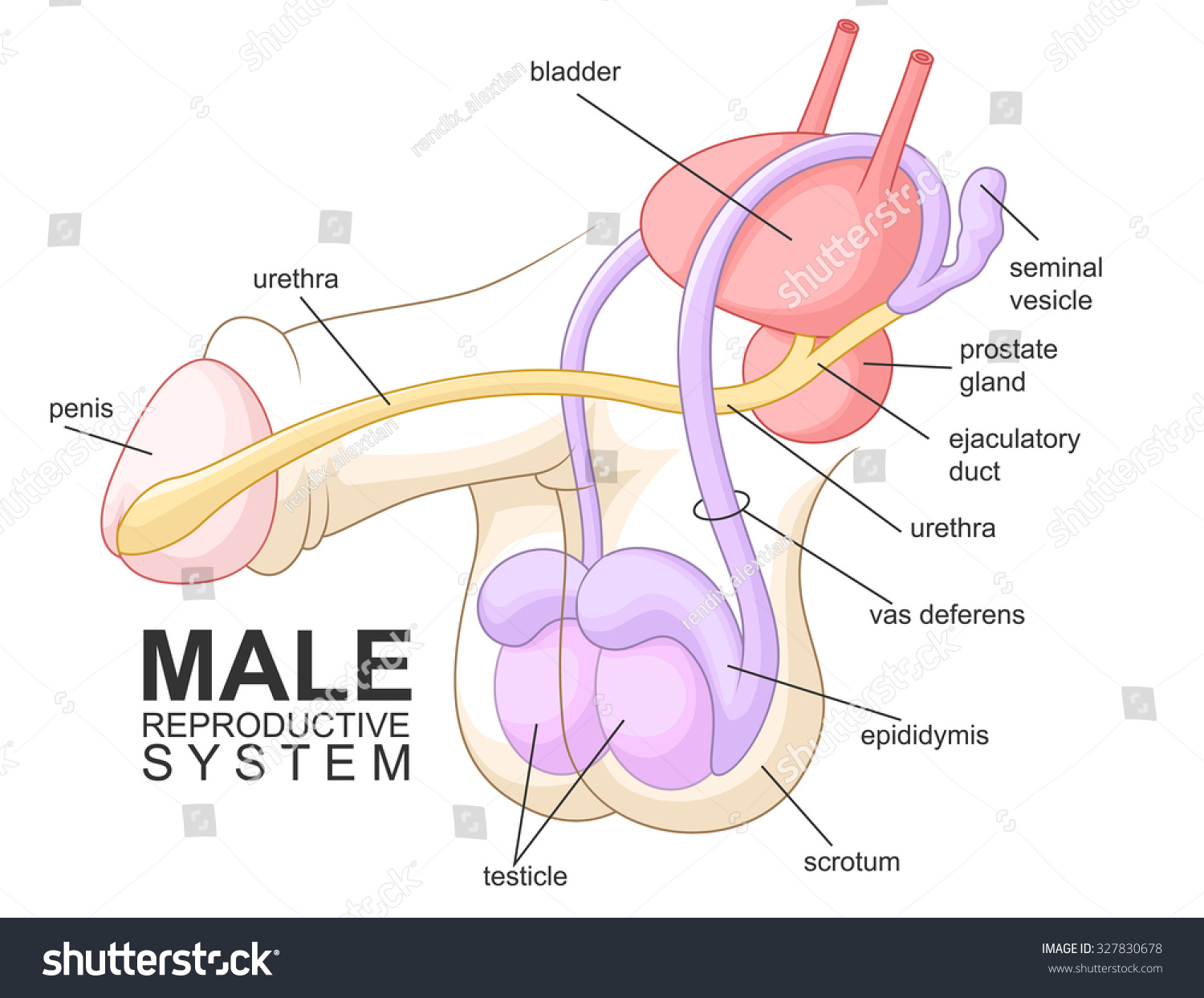 Male Reproductive System Cartoon Stock Vector Royalty Free