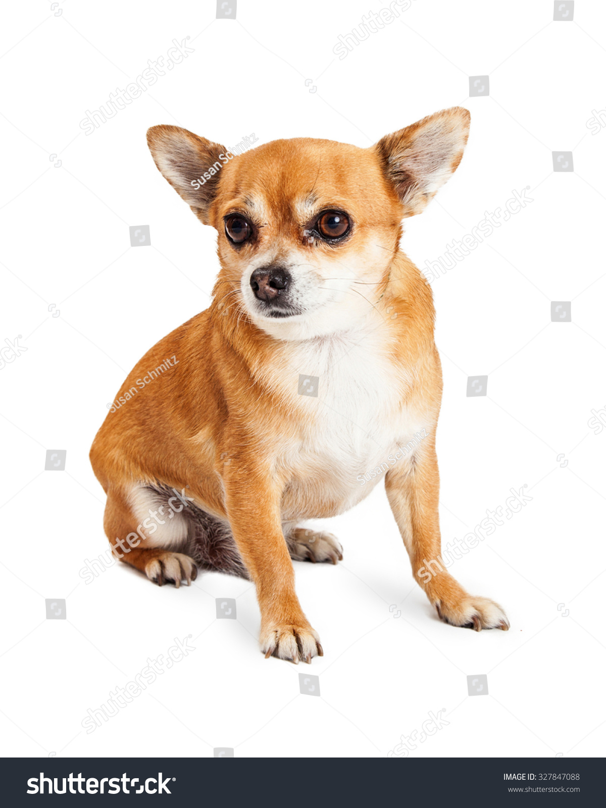 Cute Little Tan Color Chihuahua Mixed Breed Dog Isolated On A White