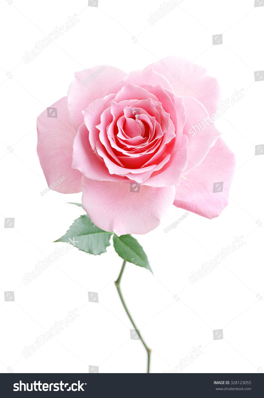 Flower Light Pink Rose On White Stock Photo Edit Now 328123055