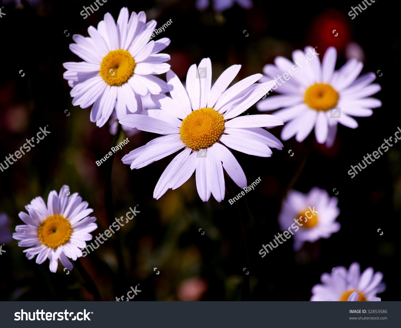 Oxeye daisy patch latin name chrysanthemum stock photo edit now ox eye daisy patch latin name chrysanthemum leucanthemum family compositae birth flower izmirmasajfo