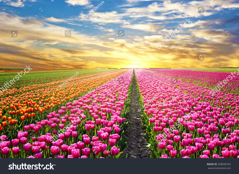 Spring Flowers Tulips Field Sunrise Grass Clouds: Magical Landscape Sunrise Over Tulip Field Stock Photo