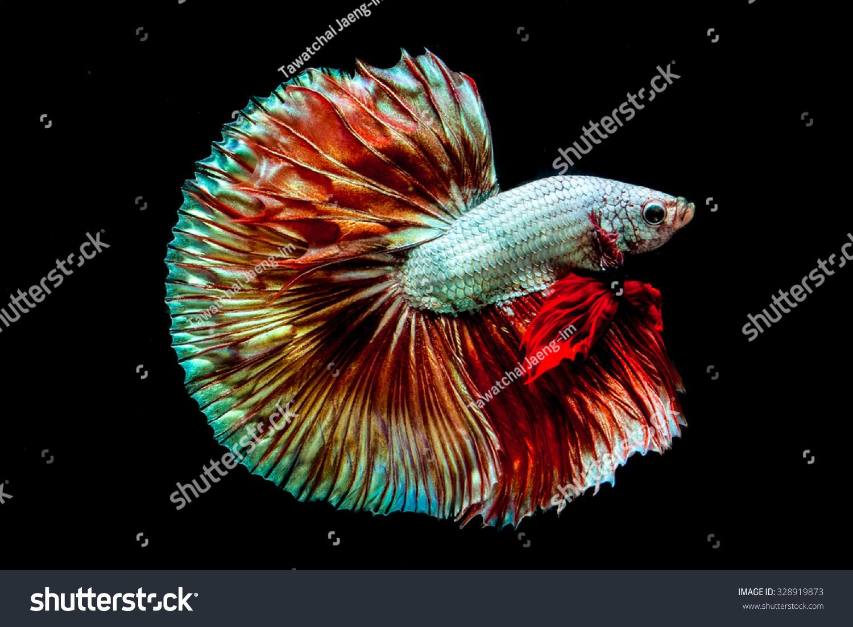 Betta fish on black background stock photo 328919873 for Black betta fish