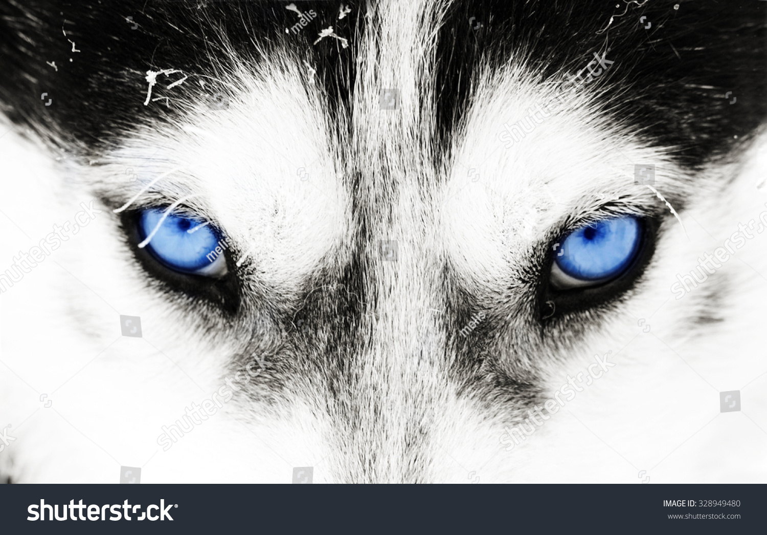 Is It Dangerous To Look Into Dogs Eyes