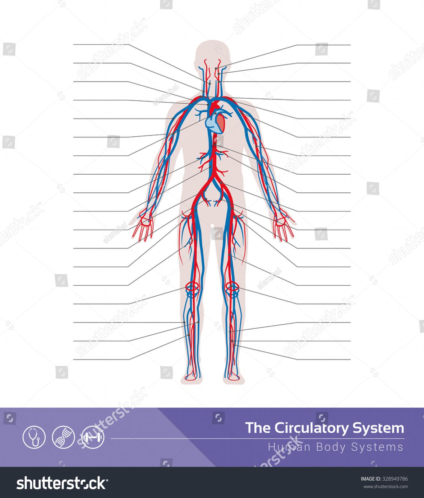 Circulatory Cardiovascular Human Body System Medical Vector de stock ...