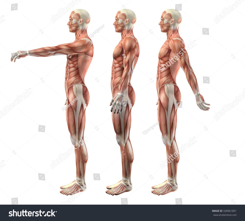 3 D Render Medical Figure Showing Shoulder Stock Illustration ...