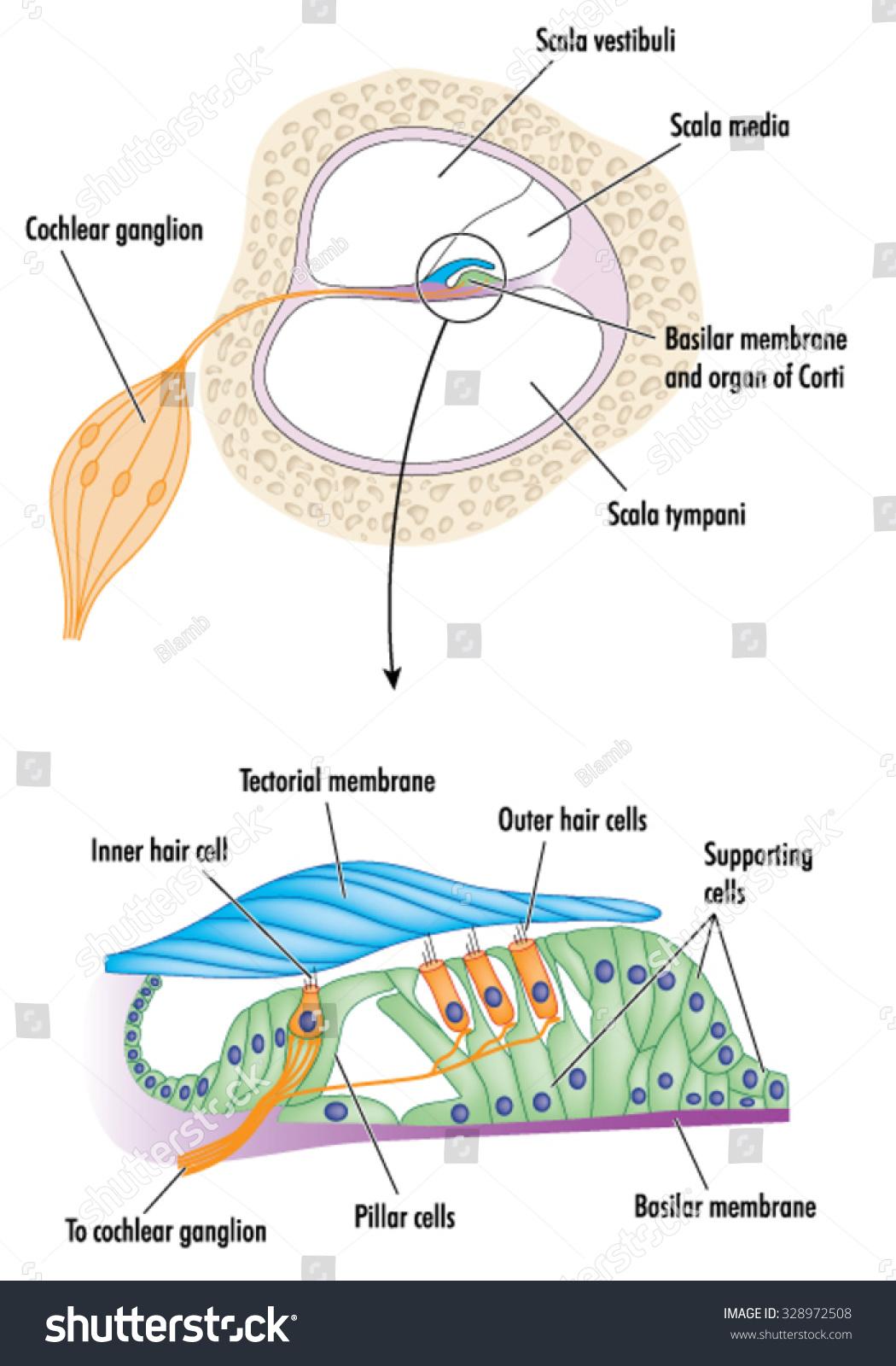 Organ of corti model