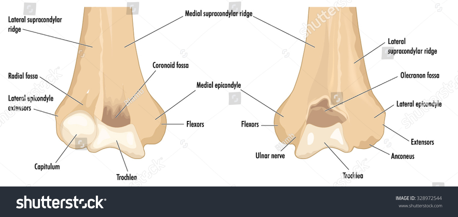 Distal Humerus Showing Major Anatomical Features Stock Vector ...