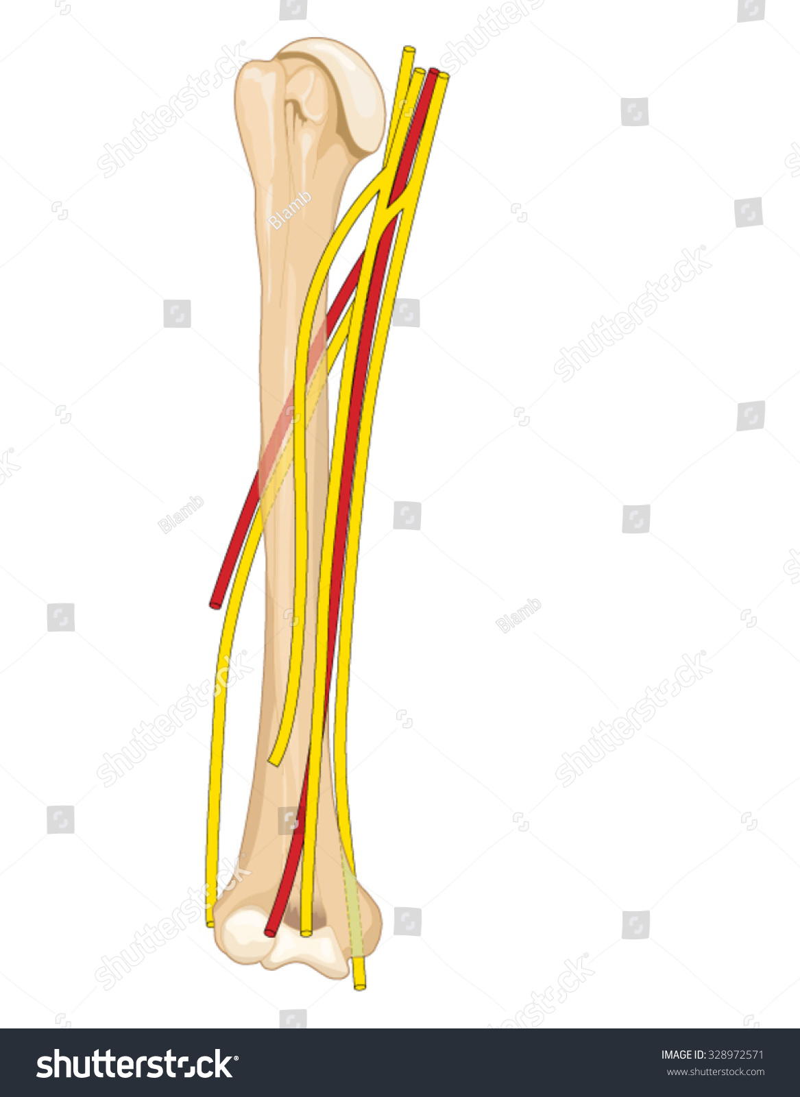 Major Nerves Arteries Upper Arm Showing Stock Vector Royalty Free