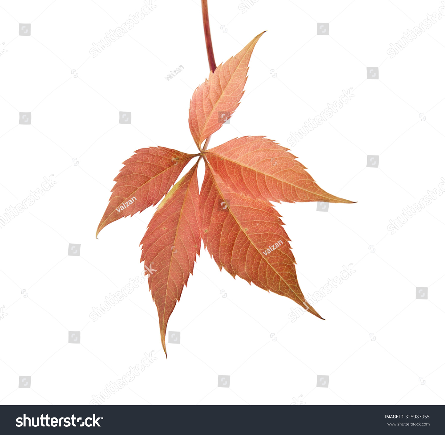 autumn leaves of vine on a white background #328987955