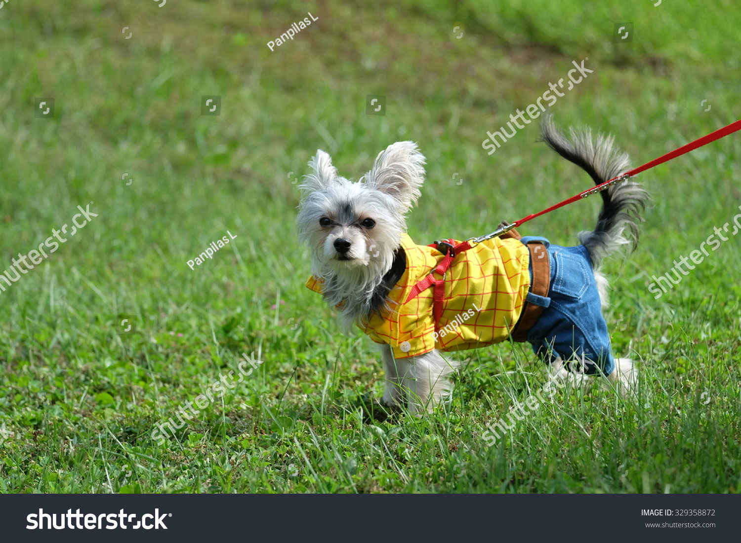 Yorkshire Terrier Westie Wears Toy Story Stock Photo (Royalty Free ... | Toy Story Dog Breed