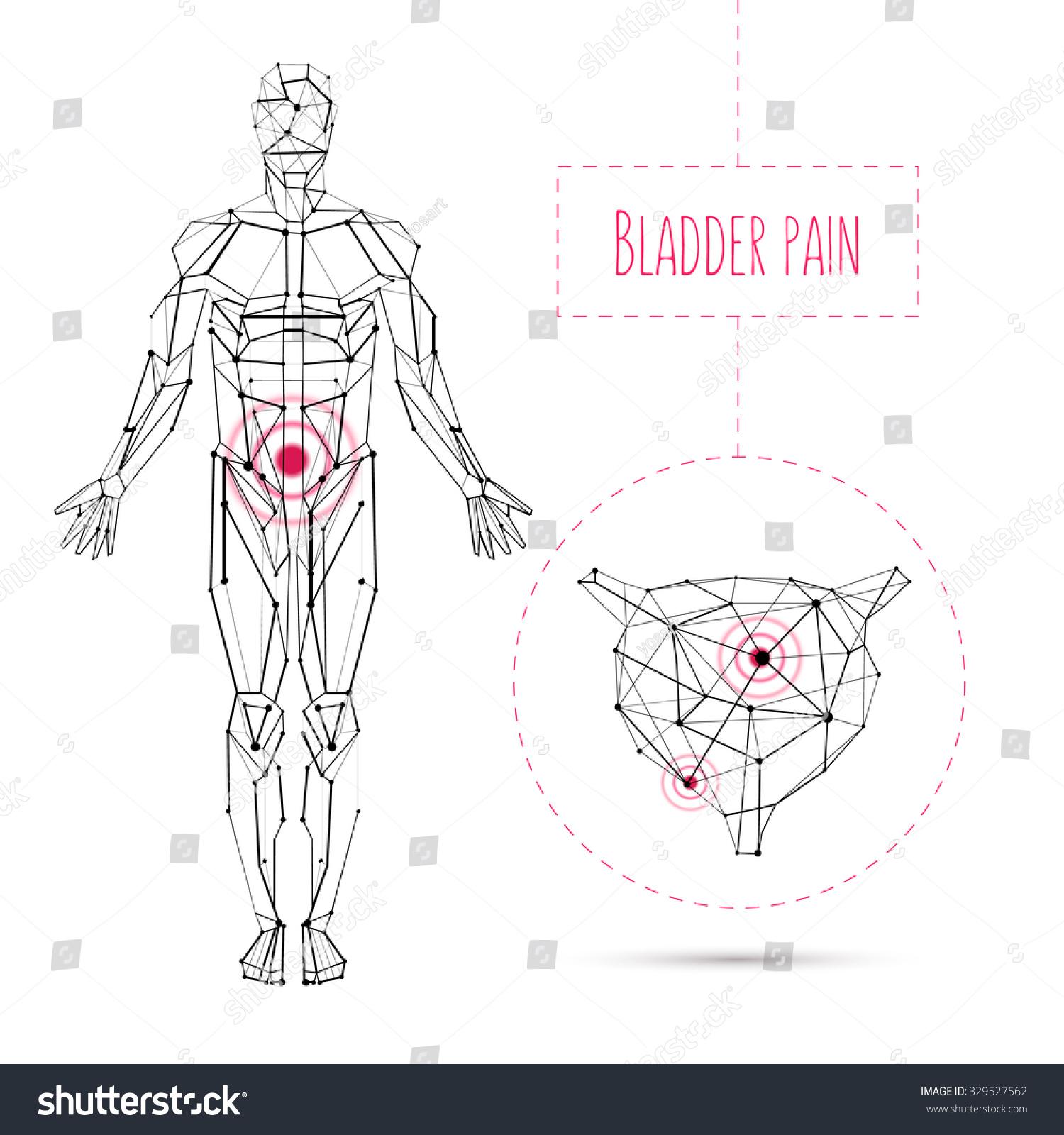 Medical Abstract Vector Human Anatomy Bladder Stock Vector (Royalty ...