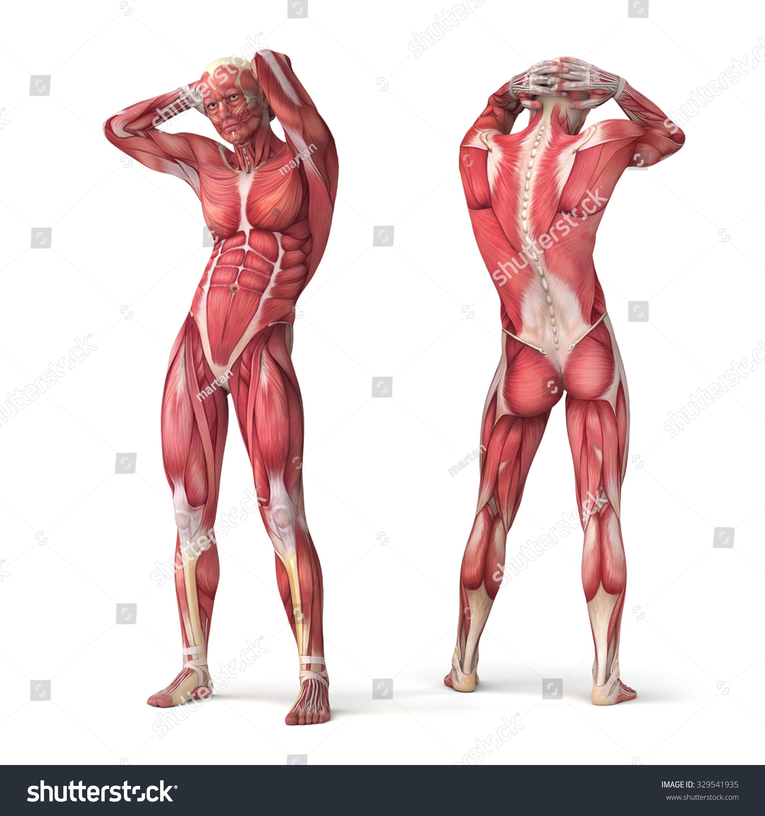 3 D Muscular Anatomy Bodybuilder Isolated On Stock Illustration