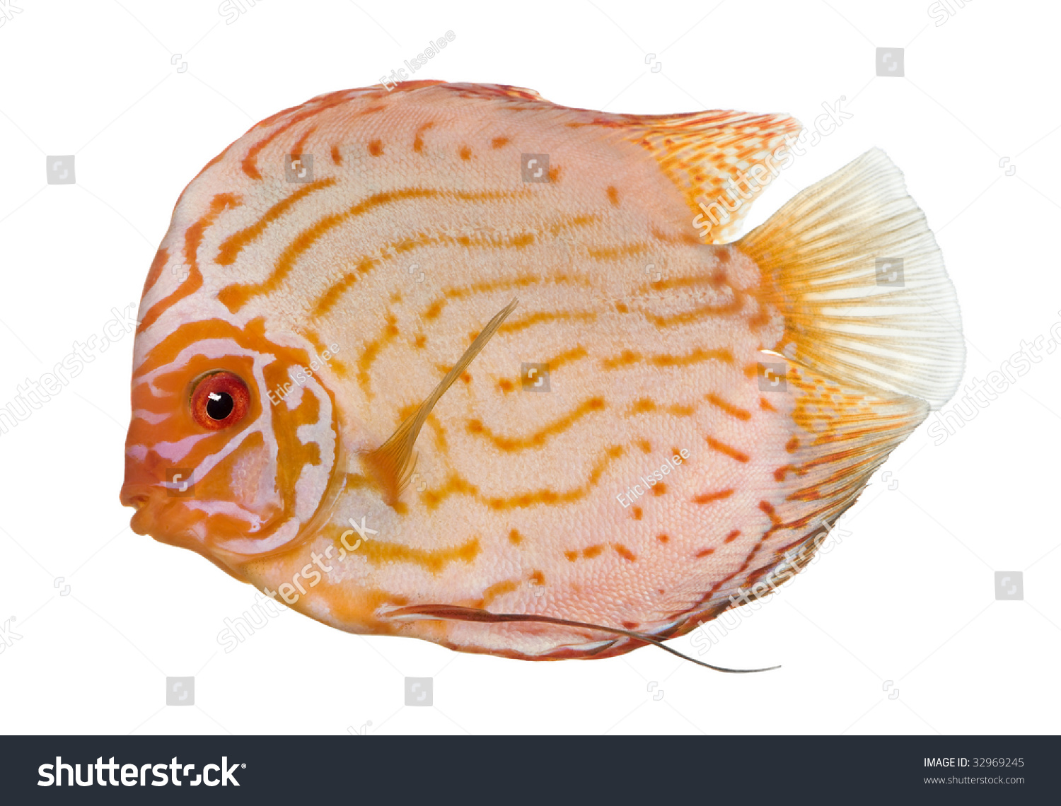 Pigeon Blood Discus Fish Symphysodon Aequifasciatus In Front Of A White Background Stock