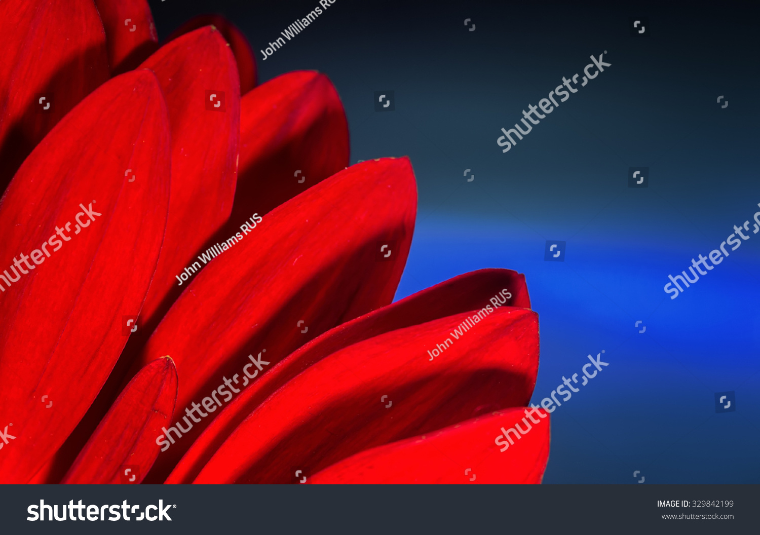 Bright Red Petals Hidden Red Chrysanthemum Stock Photo 329842199 Shutterstock