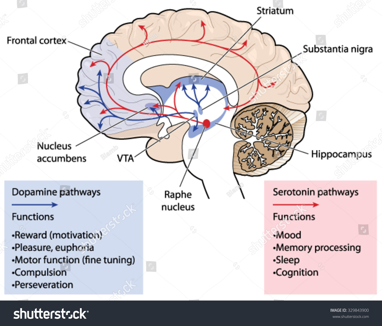 Vetor stock de cross section through brain showing dopamine livre cross section through the brain showing the dopamine and serotonin pathways affection mood memory ccuart Image collections