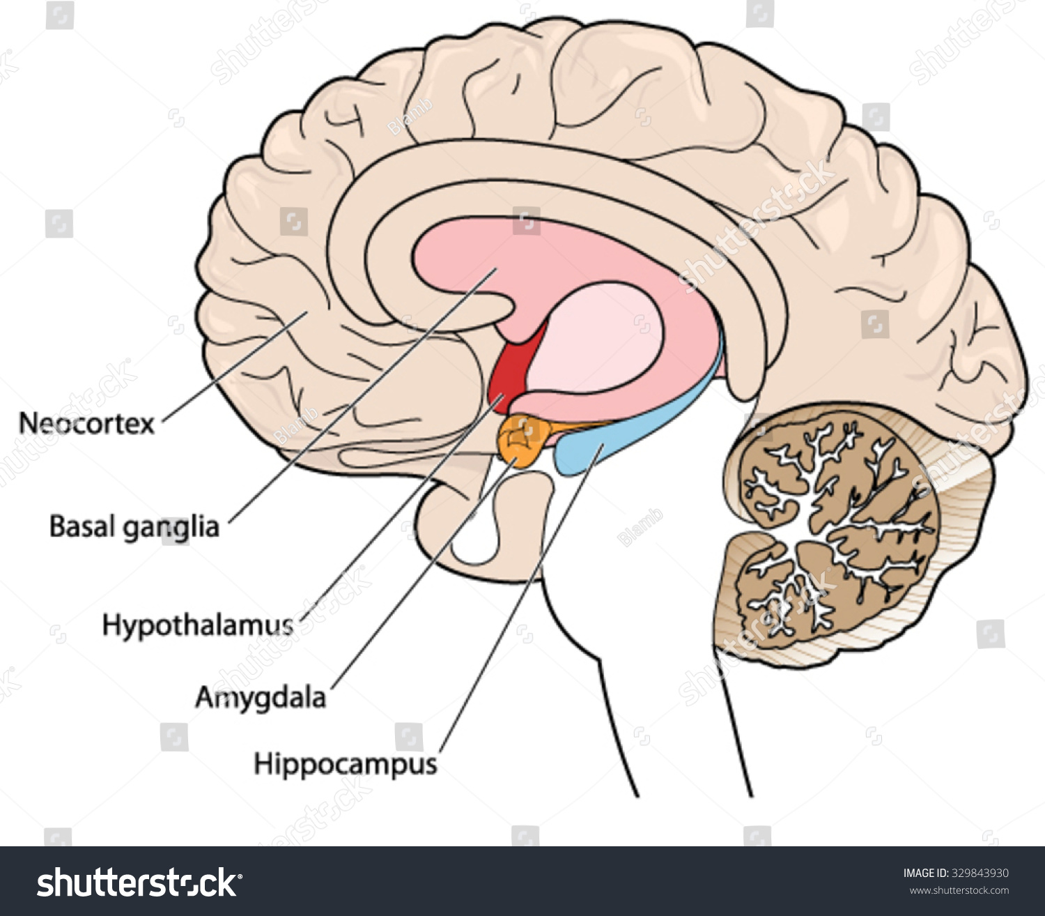 Brain cross section showing basal ganglia stock vector hd royalty the brain in cross section showing the basal ganglia hypothalamus amygdala and hippocampus ccuart Images