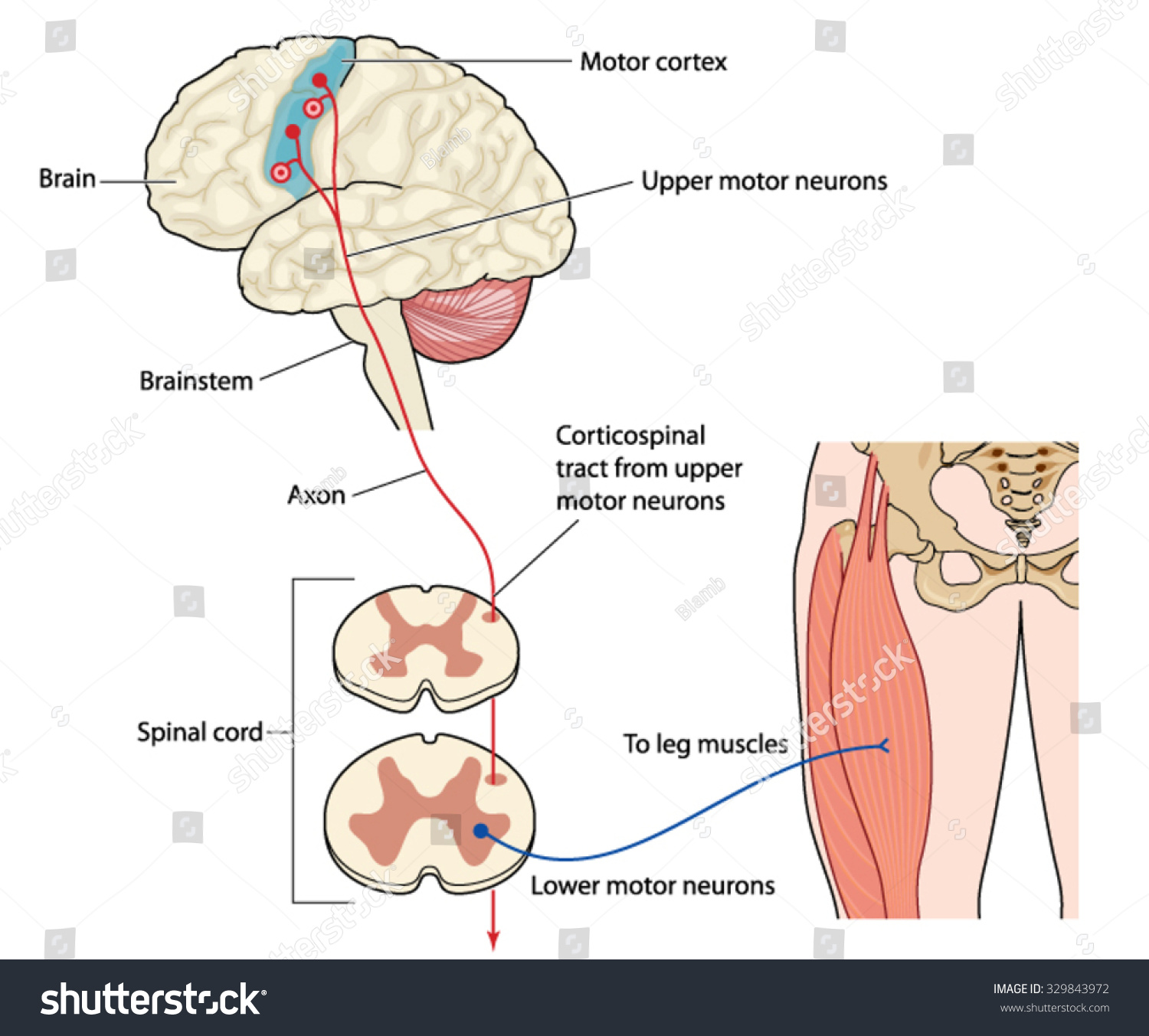 Brain Spine Muscle Diagram - House Wiring Diagram Symbols •